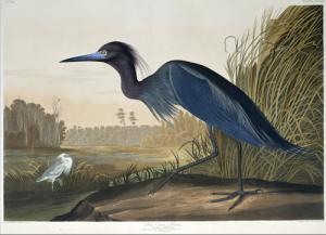 Audubon-Heron-DLC